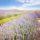 Riego por goteo en cultivo de lavandín: consejos de instalación para una máxima rentabilidad
